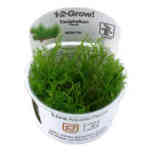 Taxiphyllum Flame 1-2 Grow Tropica