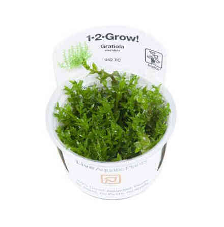 Gratiola Viscidula 1-2 grow