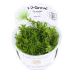 Gratiola Viscidula 1-2 grow
