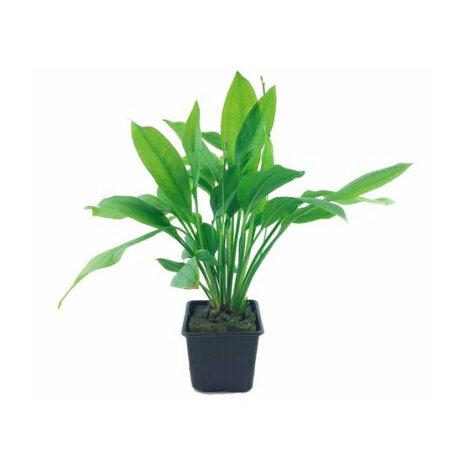 Echinodorus Bleheri XL Tropica