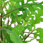Hygrophila Pinnatifida i kruka