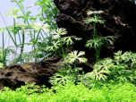 Ranunculus Inundatus 1-2 Grow