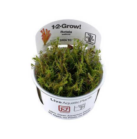 Rotala Wallichi 1-2 grow Tropica