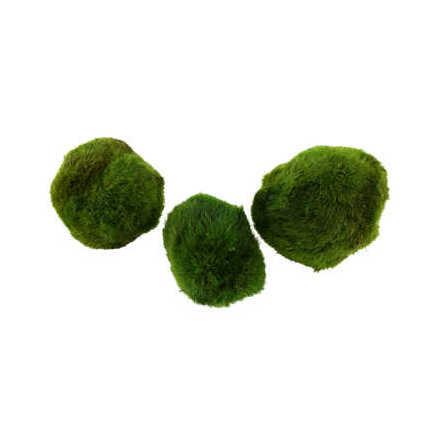 Cladophora aegagropila Mossboll S 3 st