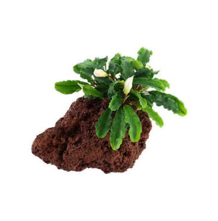 Bucephalandra Pygmaea Wavy Green på lavasten