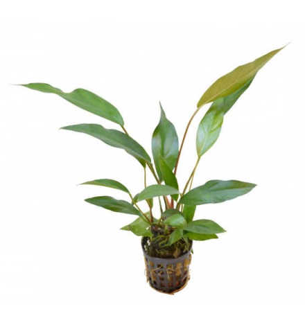 Anubias Heterophylla Lanceolata