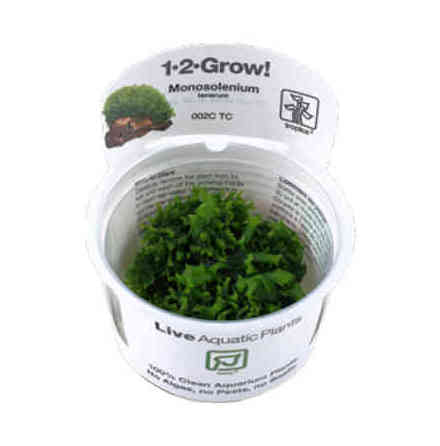 Monosolenium Tenerum 1-2 Grow