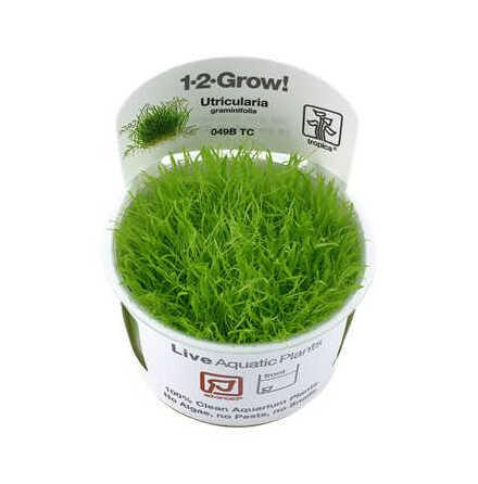Utricularia 1-2 grow