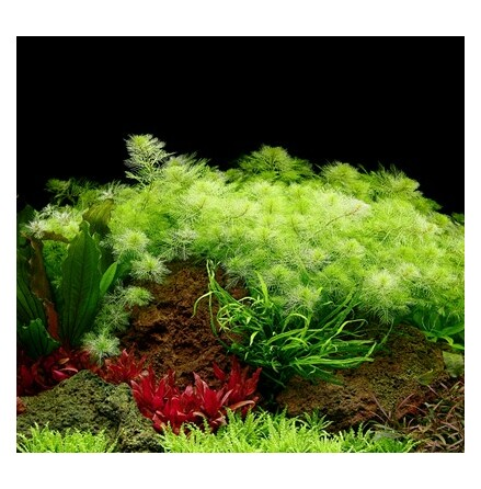 Limited Edition Myriophyllum mattogrossense 1-2 Grow