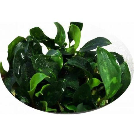 Piptospatha Ridleyi 1-2 Grow limited Edition