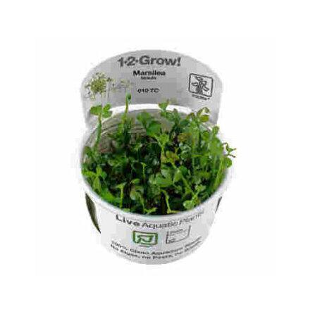Marsilea hirsuta 1-2 Grow