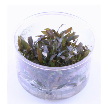 Cryptocoryne wendtii brown 1-2-Grow Limited Edition