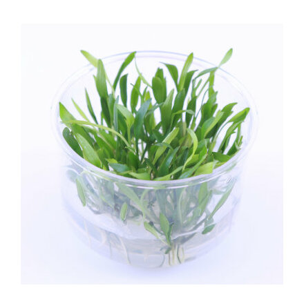 Cryptocoryne lucens 1-2 grow Limited edition