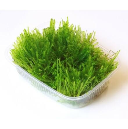 Taxiphyllum alternans Taiwan Limited Edition portion