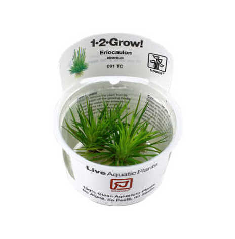 Eriocaulon cinereum 1-2 Grow