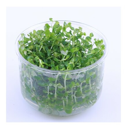 Rotala Mexicana Bangladesh 1-2 grow Limited edition
