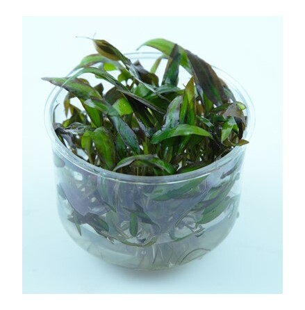 Cryptocoryne affinis Red 1-2 Grow Limited Edition
