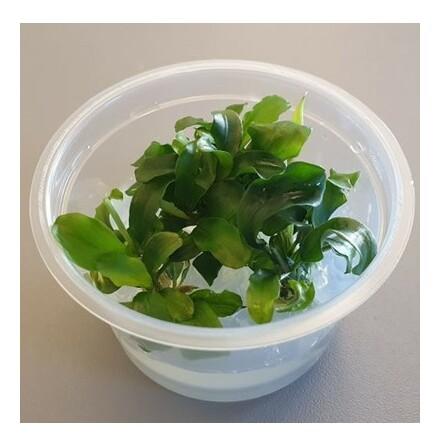 Bucephalandra Pygmaea Wavy Green 1-2 grow Limited edition