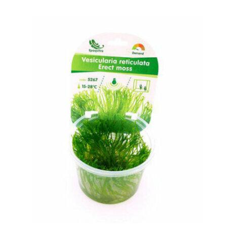 Vesicularia reticulata Erect moss invitro
