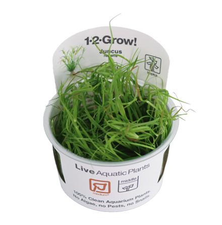 Juncus repens 1-2 grow